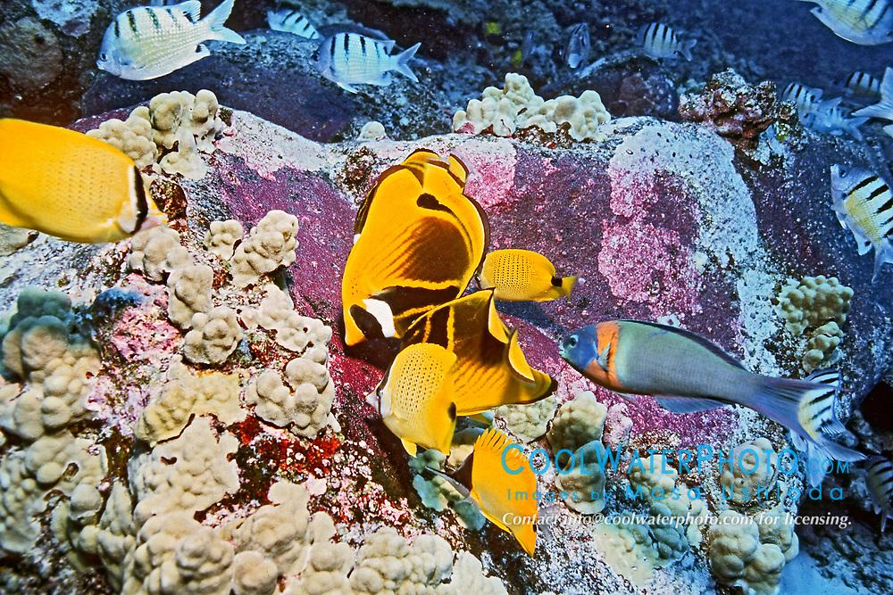 lemon butterflyfish or milletseed butterflyfish, Chaetodon miliaris, and wrasse, feeding frenzy on eggs purplish patches on rocks of Hawaiian sergeant major, Abudefduf abdominalis, endemic, Big Island, Hawaii, Pacific Ocean