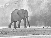 A desert elephant (Loxodonta africana cyclotis) walking through the Hoanib river bed on a windy day, black and white, Skeleton Coast, Namibia