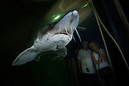 Spectators looking at the beluga, sometimes called European sturgeon (Huso huso), anadromous fish in the sturgeon family. Captive (image shot in a large aquarium) at Danube Delta Eco Tourism Museum Center, Tulcea, Romania. Heavily fished for the female's valuable roe—known as beluga caviar— the beluga is a huge and late-maturing fish that can live for 118 years. IUCN classifies the beluga as critically endangered. It is a protected species listed in appendix III of the Bern Convention, and its trade is restricted under CITES appendix II. The Mediterranean population is strongly protected under appendix II of the Bern Convention, prohibiting any intentional killing of these fish.
