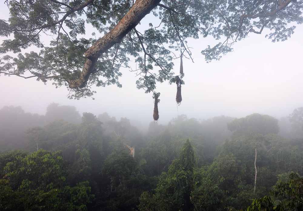 Morning mist rises over the Amazon rain forest viewed from a tree-top platform in the Napo Wildlife Centre. Yasuni National Park, Amazon, Ecuador.