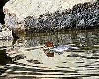 Common Merganser (Mergus merganser). Yosemite National Park, California. Image taken with a Nikon D300 camera and 80-400 mm VR lens.