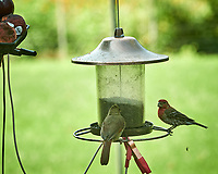 House Finch. Image taken with a Nikon D850 camera and 200 mm f/2 lens