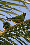 Aquidauana_MS, Brasil...Papagaio no galho de uma arvore na fazenda Rio Negro no Pantanal...The parrot on the branch tree in Rio Negro farm in Pantanal...Foto: JOAO MARCOS ROSA / NITRO