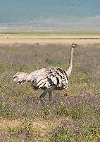 Female Common Ostrich, Struthio camelus, in Ngorongoro Crater, Ngorongoro Conservation Area, Tanzania