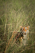 View of tigress hiding in long grass, Tadoba national Park, India