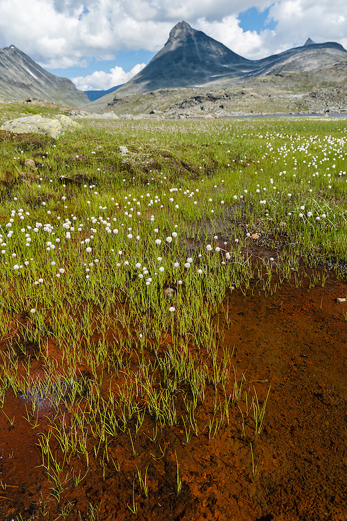 Meadow flowers at Jotunheimen National Park, Norway