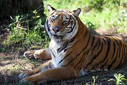 A Bengal tiger rests in its enclosure at the Oakland, Calif. zoo, Wednesday, Dec. 26, 2007.  (D. Ross Cameron/The Oakland Tribune)