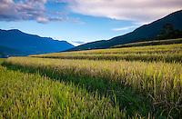 BHUTAN - CIRCA OCTOBER 2014: Rice fields in the Bhutanese countryside.