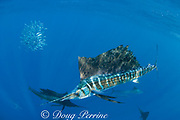 Atlantic sailfish, Istiophorus albicans, attacking bait ball of sardines, Sardinella aurita, off Yucatan Peninsula, Mexico ( Caribbean Sea )