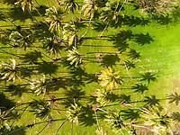 Aerial view of coconut palm trees, Papara, Tahiti, French Polynesia