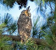 Long-eared owl in CP, NYC