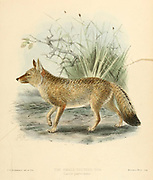 """hoary fox or hoary zorro (Lycalopex vetulus [Here as Small-Toothed Dog (Canis parvidens)]), also known as raposinha-do-campo in Brazil (Portuguese for """"meadow fox""""), is a species of zorro or """"false"""" fox endemic to Brazil. From the Book Dogs, Jackals, Wolves and Foxes A Monograph of The Canidae [from Latin, canis, """"dog"""") is a biological family of dog-like carnivorans. A member of this family is called a canid] By George Mivart, F.R.S. with woodcuts and 45 coloured plates drawn from nature by J. G. Keulemans and Hand-Coloured. Published by R. H. Porter, London, 1890"""