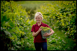 September 6, 2017 - Essex, United Kingdom - LUCY WINWARD of New Hall Vineyard, Purleigh, Essex, one of the oldest and largest family-run vineyards in England, picking Huxelrebe berries. The grape harvest at New Hall has started two weeks early this season due to an unseasonably warm start to the growing season and a consistently warm summer, unlike some wine-growing regions of Europe that have suffered damaging weather conditions, increasing the demand for English wine worldwide. (Credit Image: © Andrew Parsons/i-Images via ZUMA Press)