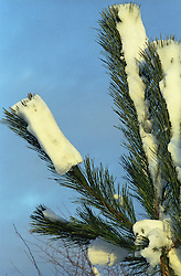 unusual snow  on a pine tree after the snow fall
