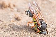 Purbeck mason wasp (Pseudepipona herrichii) with Acleris hyemana moth larva prey at nest burrow entrance. Dorset, UK.