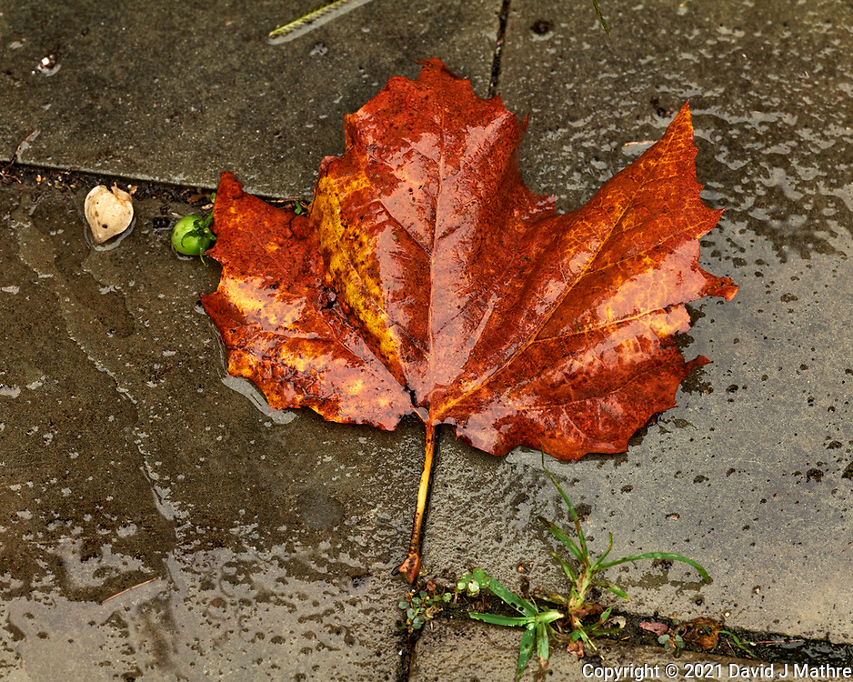 Wet autumn Maple leaf. Image taken with a Leica SL2 camera and Sigma 105 mm f/2.8 macro lens.