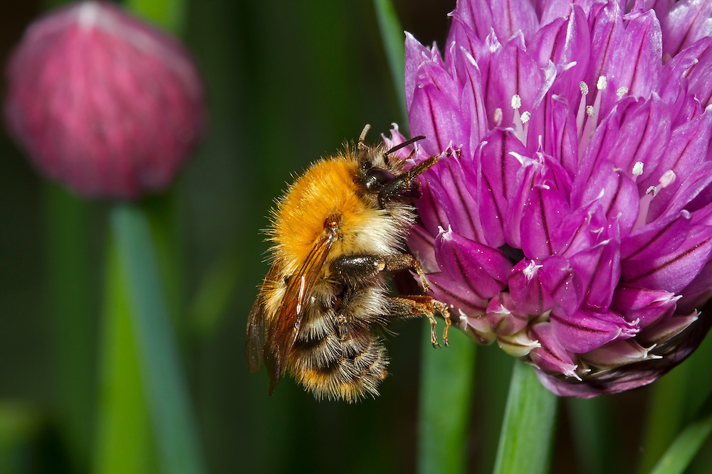 Common Carder Bee - Bombus pascuorum - worker feeding on chives