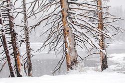 Spring snow, Sylvan Lake, dead trees, Yellowstone National Park