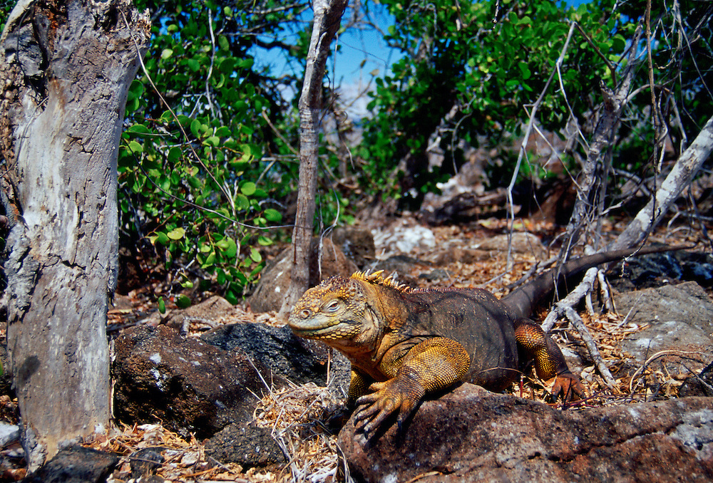 Land iguana , Galapagos Islands, Ecuador