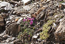 Zuiltjessteenbreek, Saxifraga oppositifolia