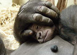 ©London News pictures...  22/11/2010. First-time mother Mjukuu places a protective hand over her new baby son capturing the unbreakable bond between mother and baby..Keepers at ZSL London Zoo say Mjukuu is proving to be a fantastic mum to her five-week-old baby. The 11-year-old western lowland gorilla gave birth to a healthy boy at the end of October, and keepers watched anxiously to see whether or not she would take to motherhood. They needn't have worried; Mjukuu adores her tiny baby boy, cleaning him, inspecting him and cuddling him all day long.