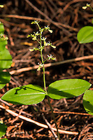 The northwestern twayblade growing in the Cascades Mountains in Stevens Pass. This tiny orchid was discovered by accident while photographing another orchid. I found it right between my elbows as I was lying prone on the ground!