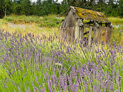 An old shed with mossy roof decays into a field of lavender at Cedarbrook Lavender and Herb Farm at the Sequim Lavender Festival held mid July on the Olympic Peninsula in Washington, USA. Lavender is a flowering plant in the mint family (Lamiaceae).