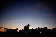 Buritizeiro_MG, Brasil...Silhueta de gado em Buritizeiro...The cattle silhouette in Buritizeiro...Foto: LEO DRUMOND / NITRO