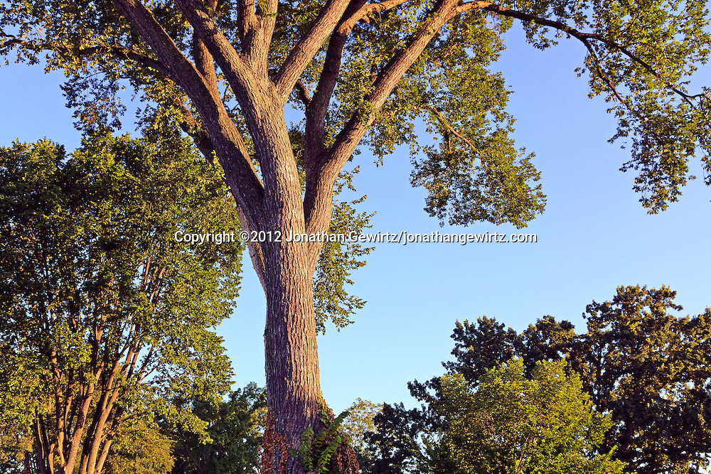 The tops of bushy deciduous trees as seen from the ground. WATERMARKS WILL NOT APPEAR ON PRINTS OR LICENSED IMAGES.