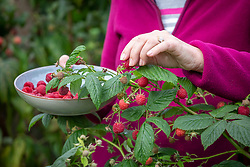 Harvesting autumn fruiting raspberries