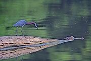 Alligator eyeing Tri-colored Heron on log - Mississippi.