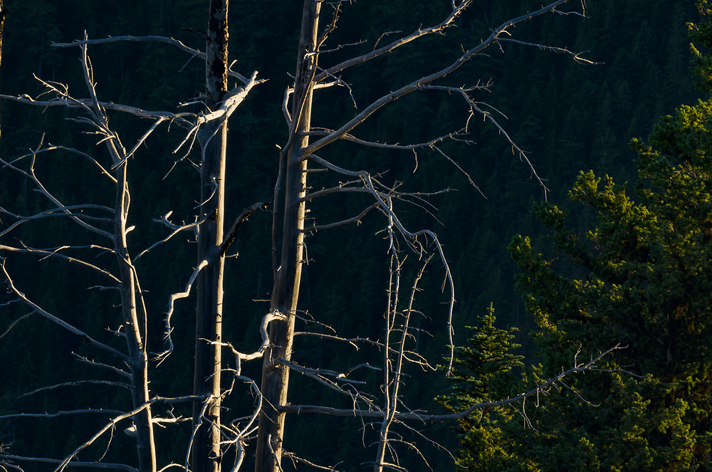 Forest fire tree snags, evening light, August, view from Deer Park, Olympic National Park, Clallam County, Washington, USA