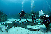 Nurse Shark (Ginglymostoma cirratum) & divers<br /> Hol Chan Marine Reserve<br /> near Ambergris Caye and Caye Caulker<br /> Belize Barrier Reef, second largest barrier reef in the world<br /> Belize<br /> Central America