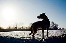 young Black and Tan mongrel dog standing in a snow covered winter landscape silhouetted against a pale blue water colour sky<br /> <br /> Walk with Wallace in the sunshine & Snow <br /> 7 Jan 2010 Copyright Paul David Drabble