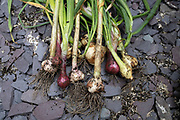 Crop of home grown organic vegetables including garlic and onions on 4th July 2020 in Birmingham, United Kingdom. The home-grown crops that have been sown and nurtured from seed and grown until ready to harvest and eat.