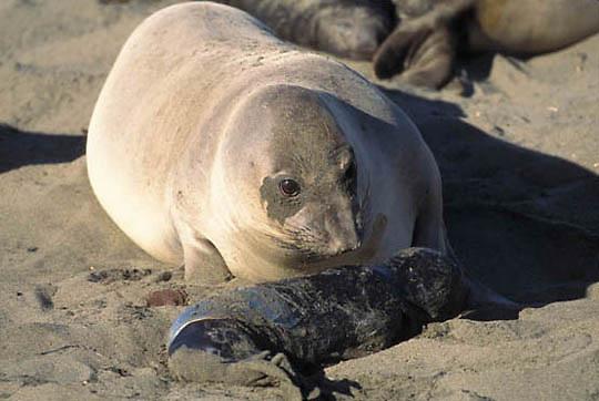 Northern Elephant Seal, (Mirounga angustirostris) Female spins around to bond with newborn pup still in amnion sac. Central California coast.