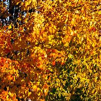 Fall Foliage Damariscotta Maine Pumpkinfest