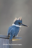 01186-01003 Belted Kingfisher (Ceryle alcyon) male sitting on wood duck nest box at wetland, Marion Co., IL