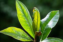 Capsid bug damage on Magnolia grandiflora