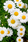 Pattern of white daisies with yellow centers.  St Paul Minnesota USA