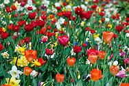 Tulips bloom in the gardens of the Groot-Bijgaarden outside of Brussels, Belgium.