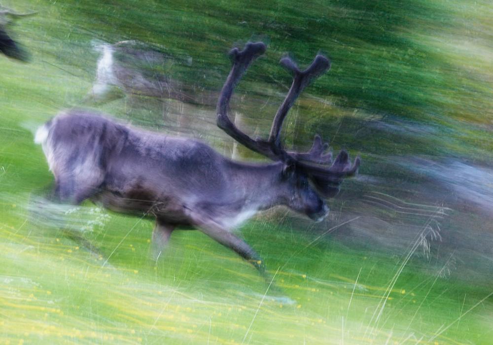 Norway - Running reindeers