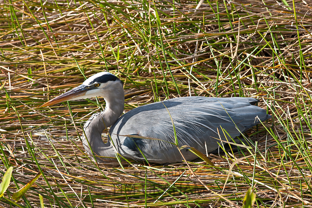 Great Blue Heron in reeds in The Everglades, Florida, USA