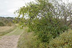 Wegedoorn, Rhamnus cathartica