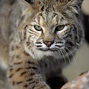 Bobcat (Lynx rufus) portrait in the Rocky Mountains.  Captive Animal.