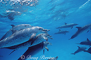 Atlantic spotted dolphins, Stenella frontalis, aggressive interaction with open-mouth threat display, White Sand Ridge, Little Bahama Bank, Bahamas ( Western North Atlantic Ocean )
