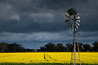 Sunshine yellow fields of Canola with a windmill in rural Victoria, Australia.