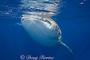 whale shark ( Rhincodon typus ) and snorkelers, Kona Coast of Hawaii Island ( the Big Island ) Hawaiian Islands, USA ( Central Pacific Ocean ) MR 357