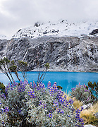 See beautiful turquoise Lake 69 and blue lupiine flowers under Nevado Chacraraju. As a day trip by car and foot from Huaraz, hike to Lake 69 (4600 meters elevation, 8 miles or 13k round trip with 800 meters gain) in the Cordillera Blanca, Andes Mountains, Peru, South America. This panorama was stitched from 6 overlapping photos.