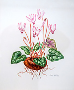 Hand drawn and painted botanic study of  Persian Cyclamen (Cyclamen persicum) wildflower in Israel